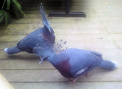 Two Victoria crowned pigeons.