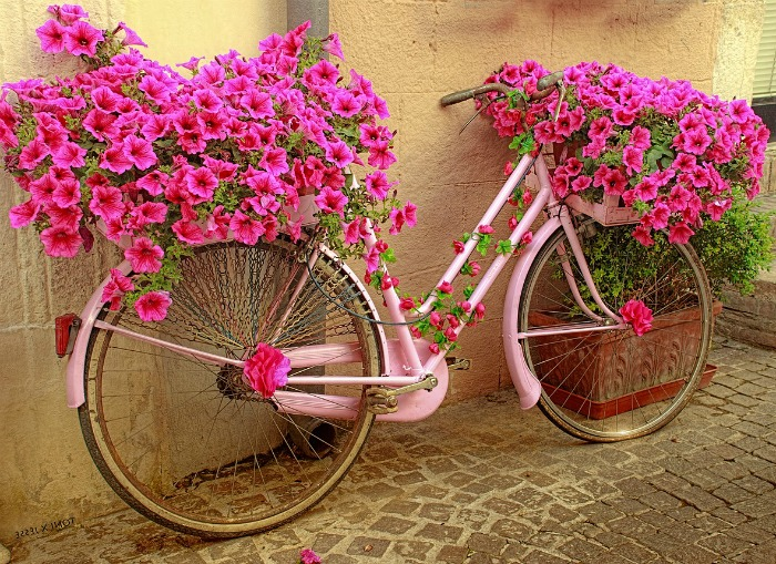 Pink petunias on a bicycle planter