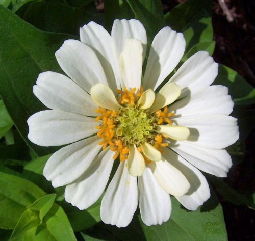 White and yellow Zinnia