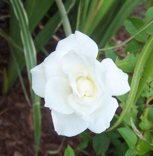 Stark White rose
