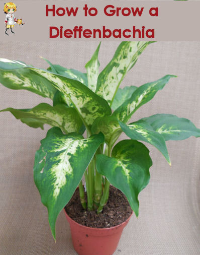 How to grow a dieffenbachia