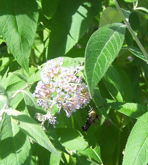 Buddlea with hummingbird moth