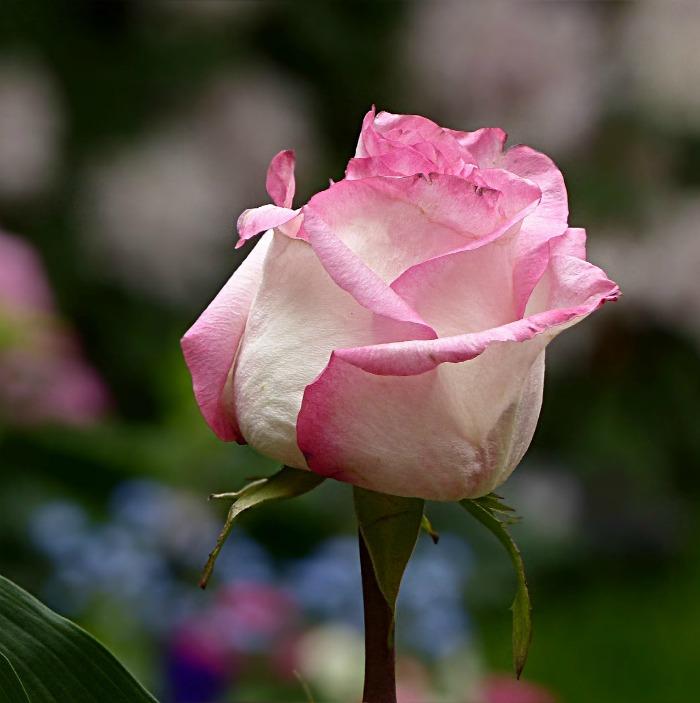 White Rose - pink edged petals