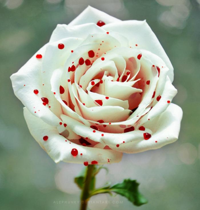 Pink and white polka dot rose