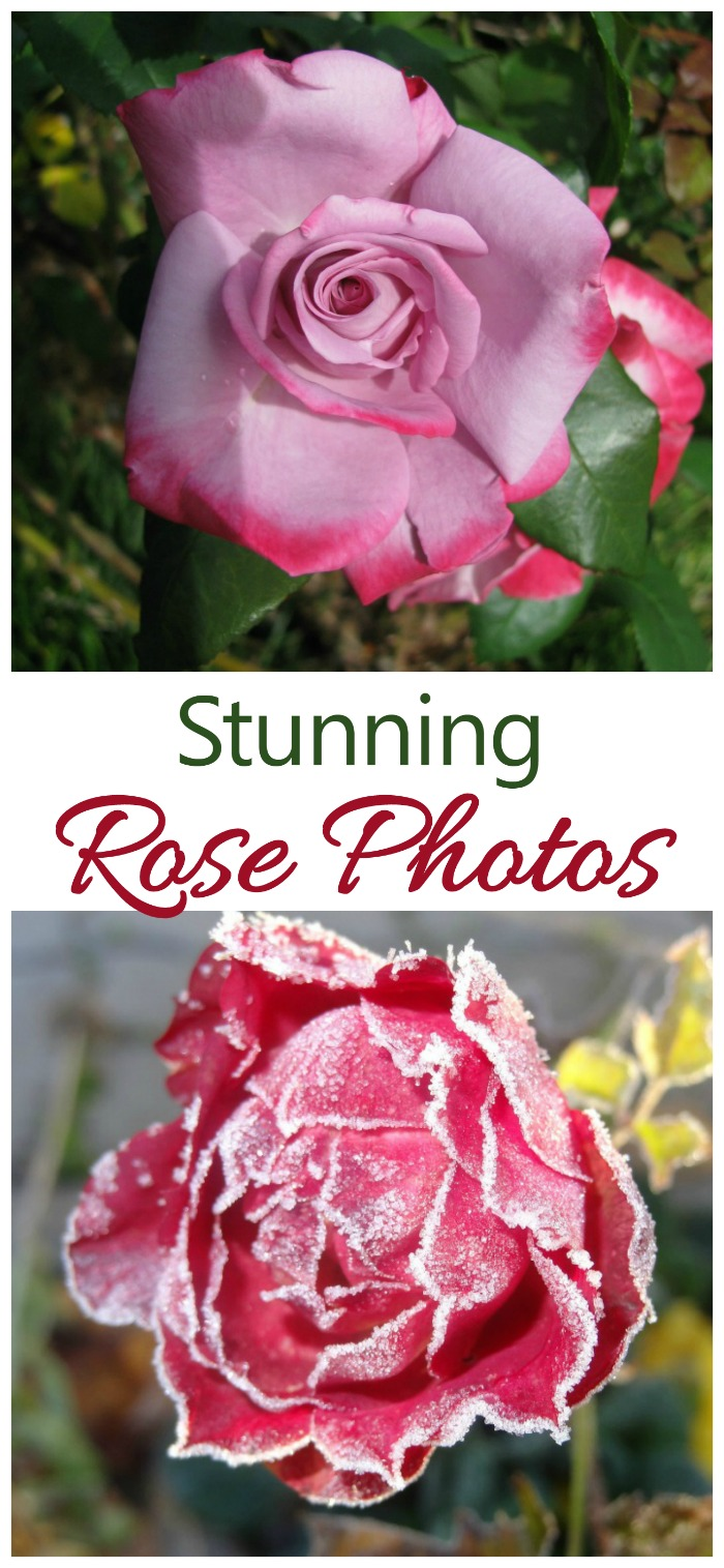 Roses are one of the world's most popular flowers. They are easy to grow and come in so many varieties. These amazing rose photos will inspire you to grow them in your garden.
