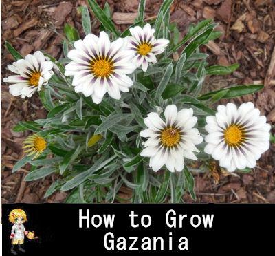 How to grow gazania