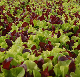 Leaf lettuce will survive a light frost