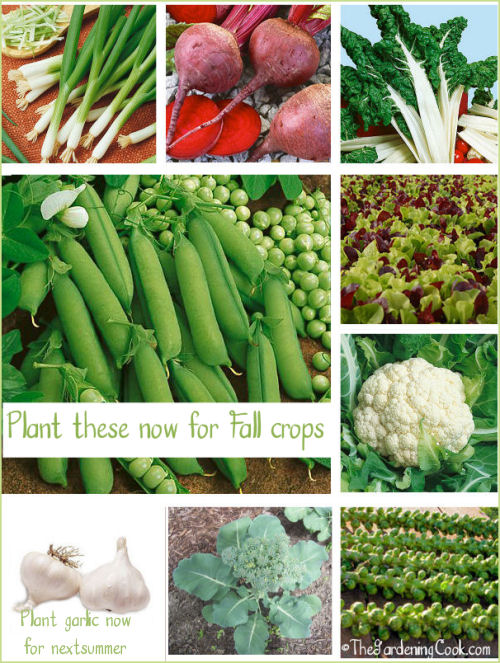 Summer is coming to an end but there are many vegetables that you can plant now for fall harvests.