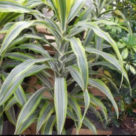 How to grow Dracaena Fragrans - Corn Plant.