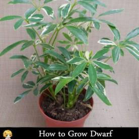 How to grow Schefflera
