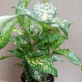 How to Grow Gold Dust Dracaena