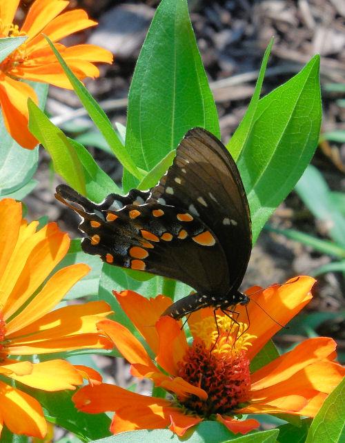 Eastern Black Swallowtail feeding on Zinnias
