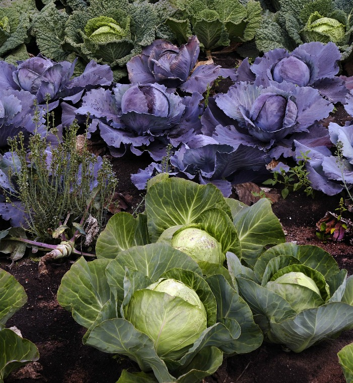 cabbage takes a few months to mature but can take very cold temperatures