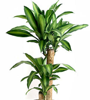 Dracaena growing tips