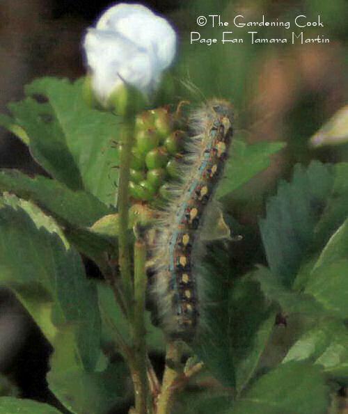 Caterpillar on cotton bud