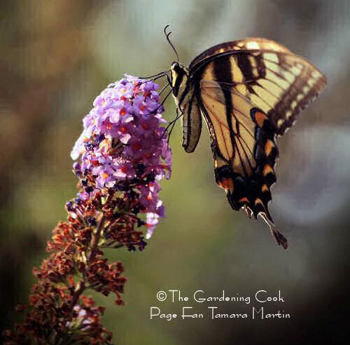 Swallowtail feeding on a butterfly bush