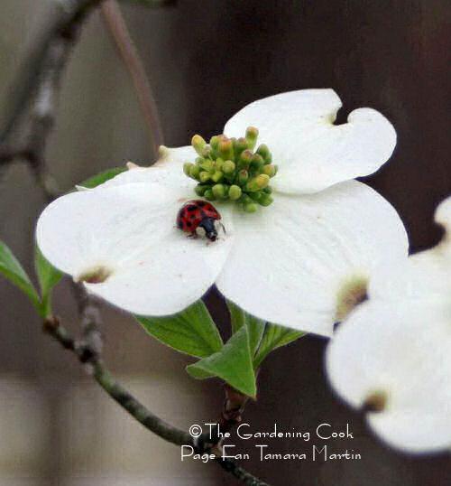Ladybug on a dogwood flower