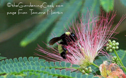 bumble bee on mimosa tree blossom