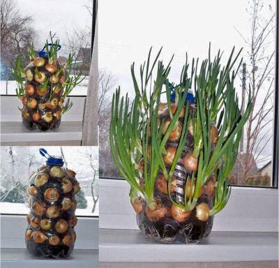 Growing onions vertically on a windowsill.