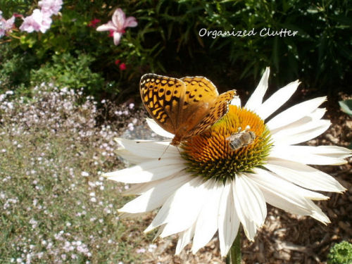 Coneflower attracting both butterfly and bee