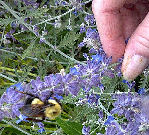 Huge bumble bee