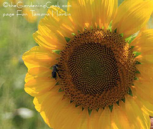 Bee feeding on a sunflower