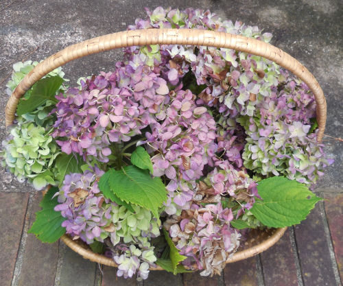 Hydrangea flowers for my wreath