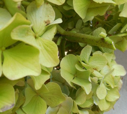 """hydrangea flower cut 1"""""""