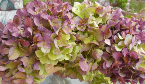 mixed colors of hydrangea flowers