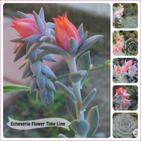 Echeveria timeline for flowering