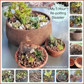 My succulent repotting disaster