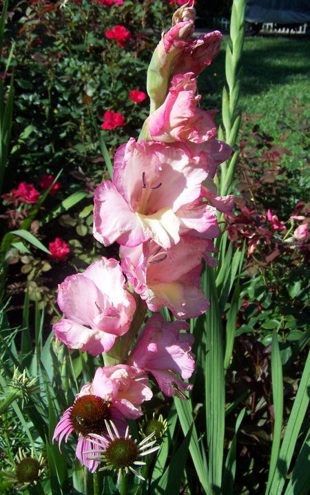 pink white gladiolus