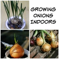 Growing Onions Indoors is easy