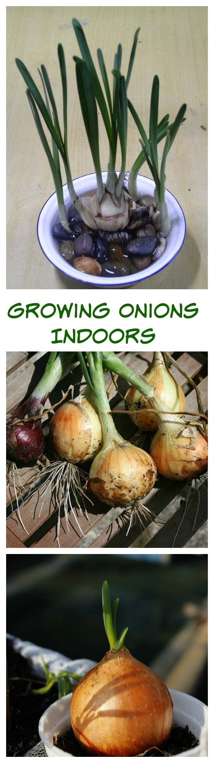 Growing Onions indoors is really quite easy. Onions are persistent and those roots just want to keep growing. See several different ways to grow onions indoors.
