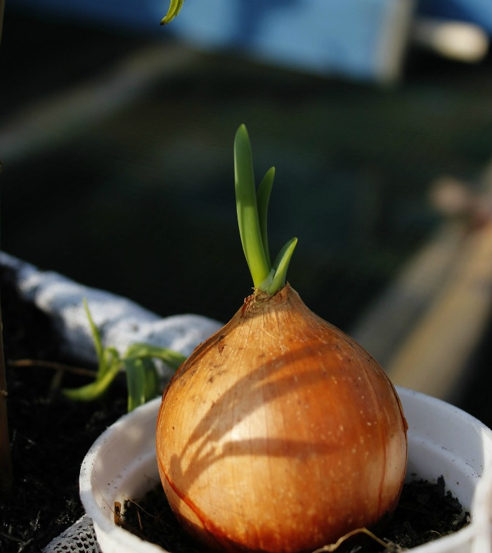 Onions will grow from the base and will sprout on top.