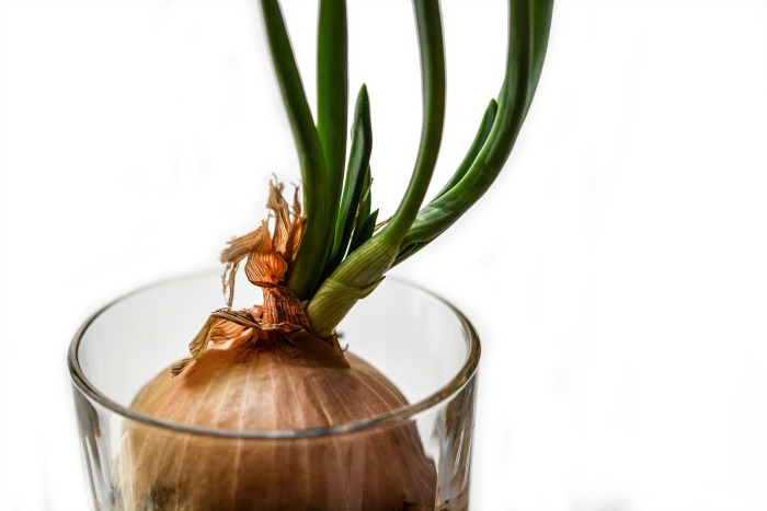 Onions growing in water.