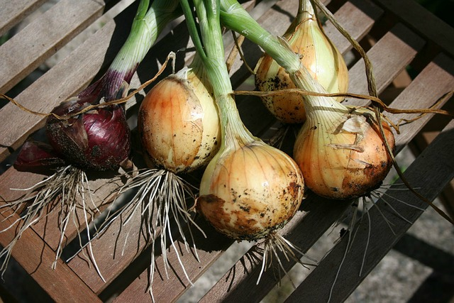 Sprouted onions will grow