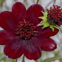 Chocolate cosmos flower buds