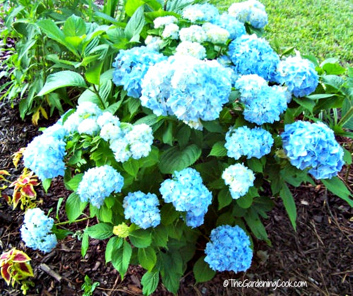 Hydrangeas and other acid loving plants like used coffee grounds