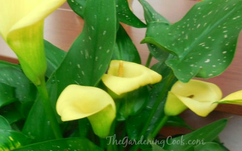 Calla lilies are popular with florists expensive but are easy to grow too!