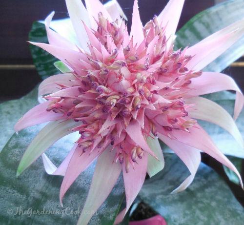Bromeliad Aechmea Fasciata flower