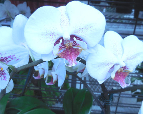 Whtie and pink Moth orchid - Phalaenopsis