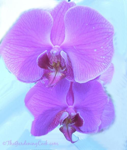Purple Moth orchid - Phalaenopsis