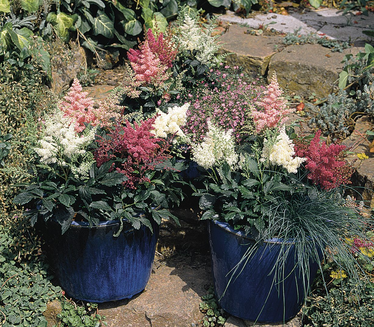 Astilbe in planters