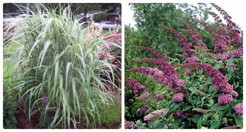 Butterfly bush and Silver Maple for the fence line