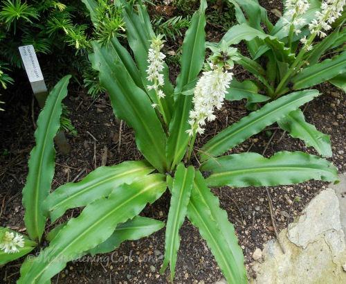 Eusomis autumnalis - pineapple lily