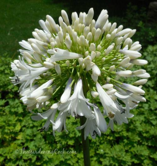 Agapanthus Orientalis white - White Lily of the Nile