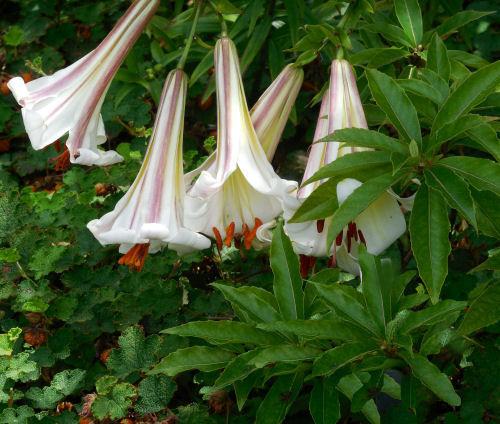 Angel's Trumpet - Brugmansia