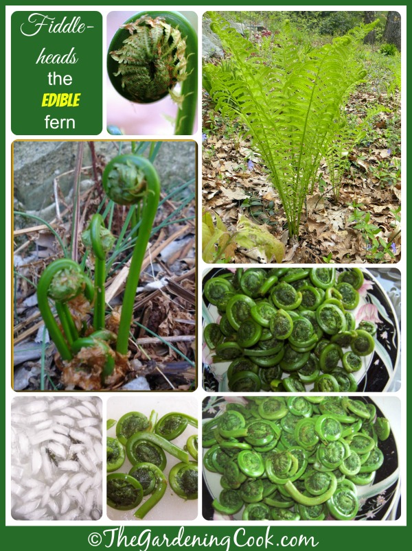 Fiddlehead Ferns - Culinary Delight from the Ostrich Fern - The ...