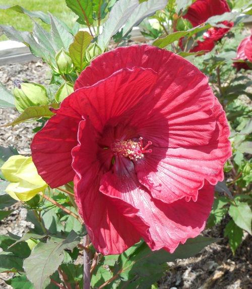 Hibiscus SUMMERIFIC variety. 'Cranberry Crush